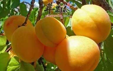 孕�D可以吃杏子 孕�D能吃杏子��